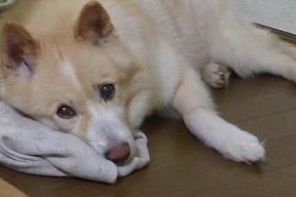 老犬・シニア犬介護記事