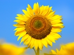 Sunflower55