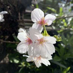 akane_toshi