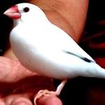 白文鳥企画 (yohkihi)